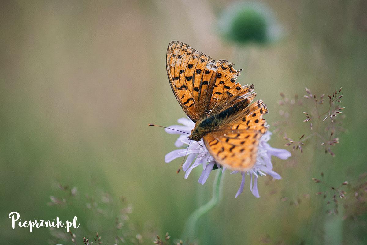 Motyl na górskiej łące Nowej Bystrzycy