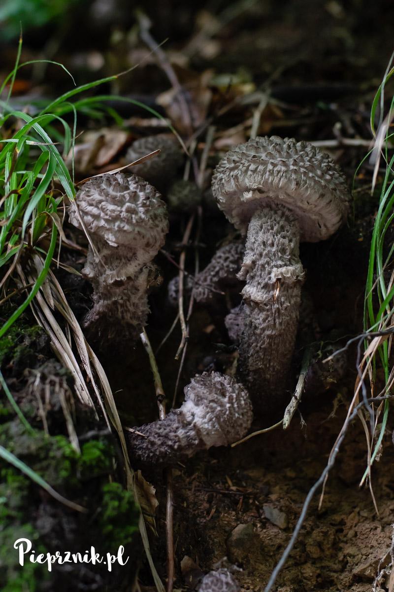 Szyszkowce łuskowate