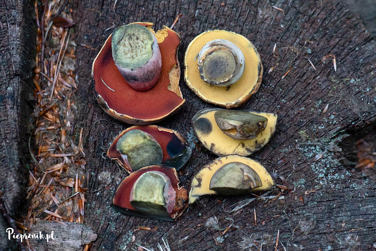 Krasnoborowik ceglastopory z żółtymi porami