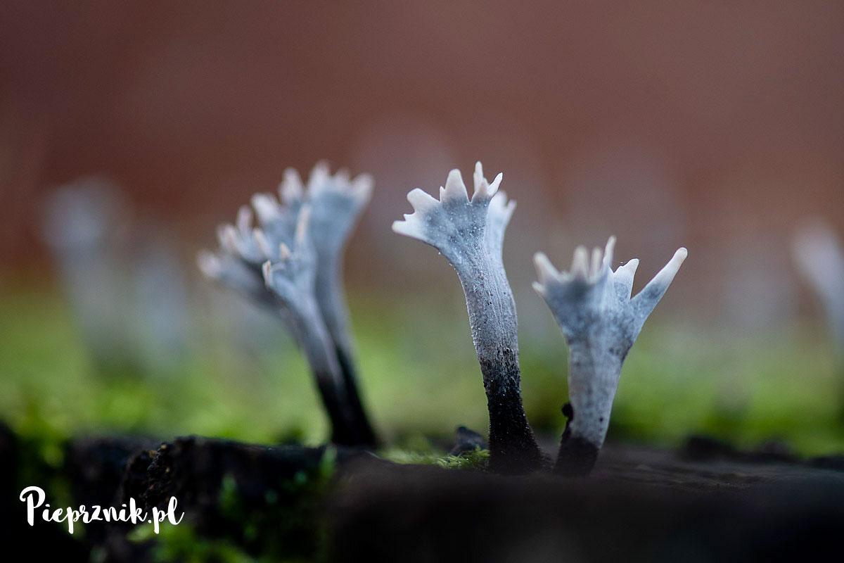 Próchnilec gałęzisty