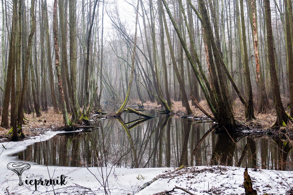Leśne moczary, tu przed chwilą były czaple