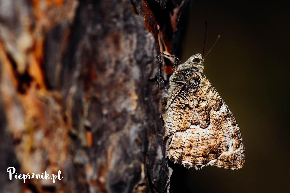 Leśny motyl