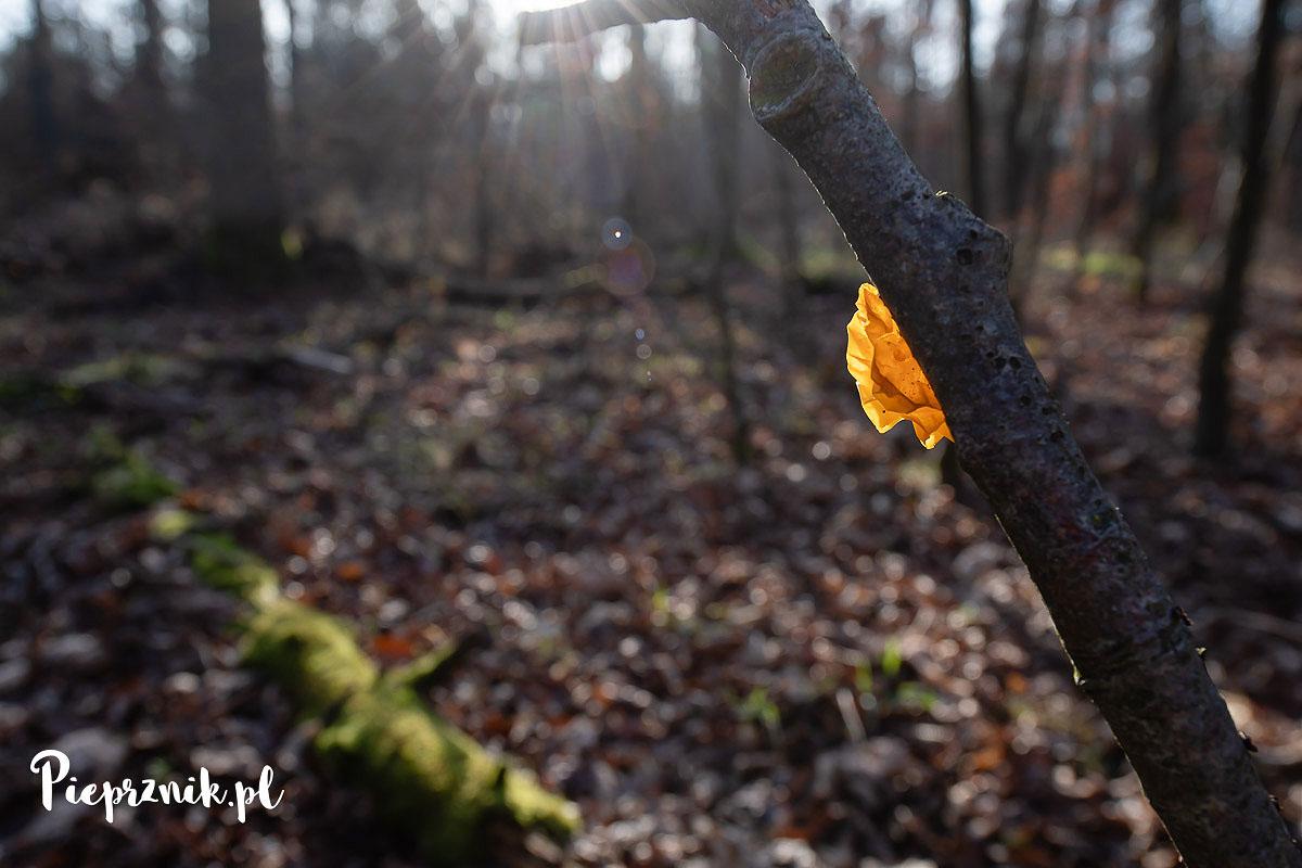 Trzęsak pomarańczowożółty