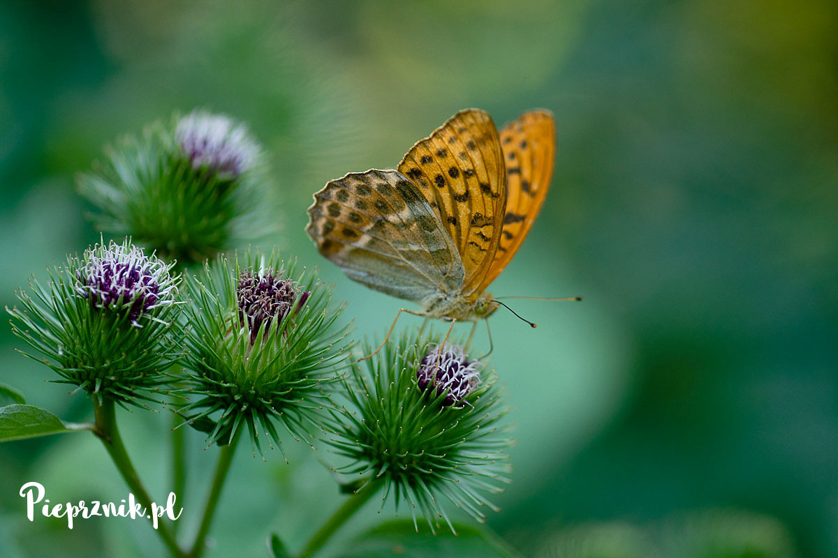 Motyle Polski