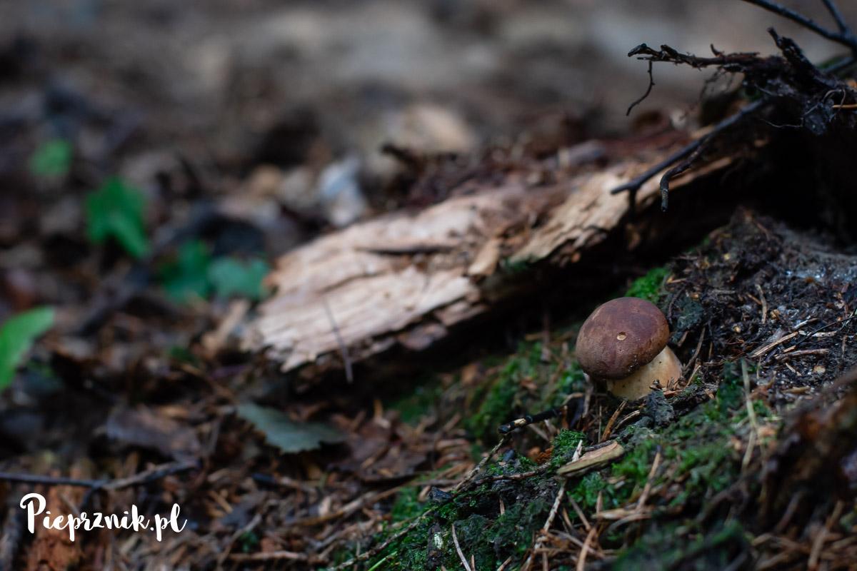 Podgrzybek brunatny