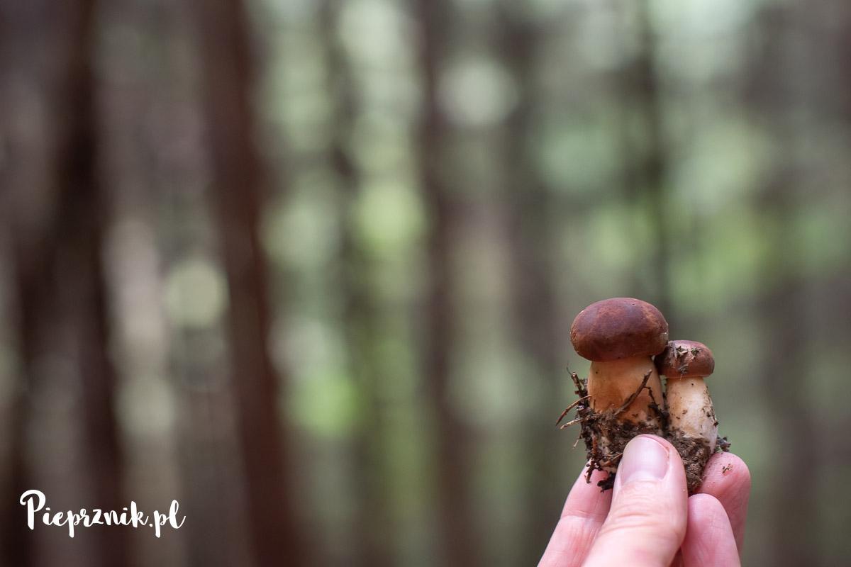 Podgrzybkki brunatne