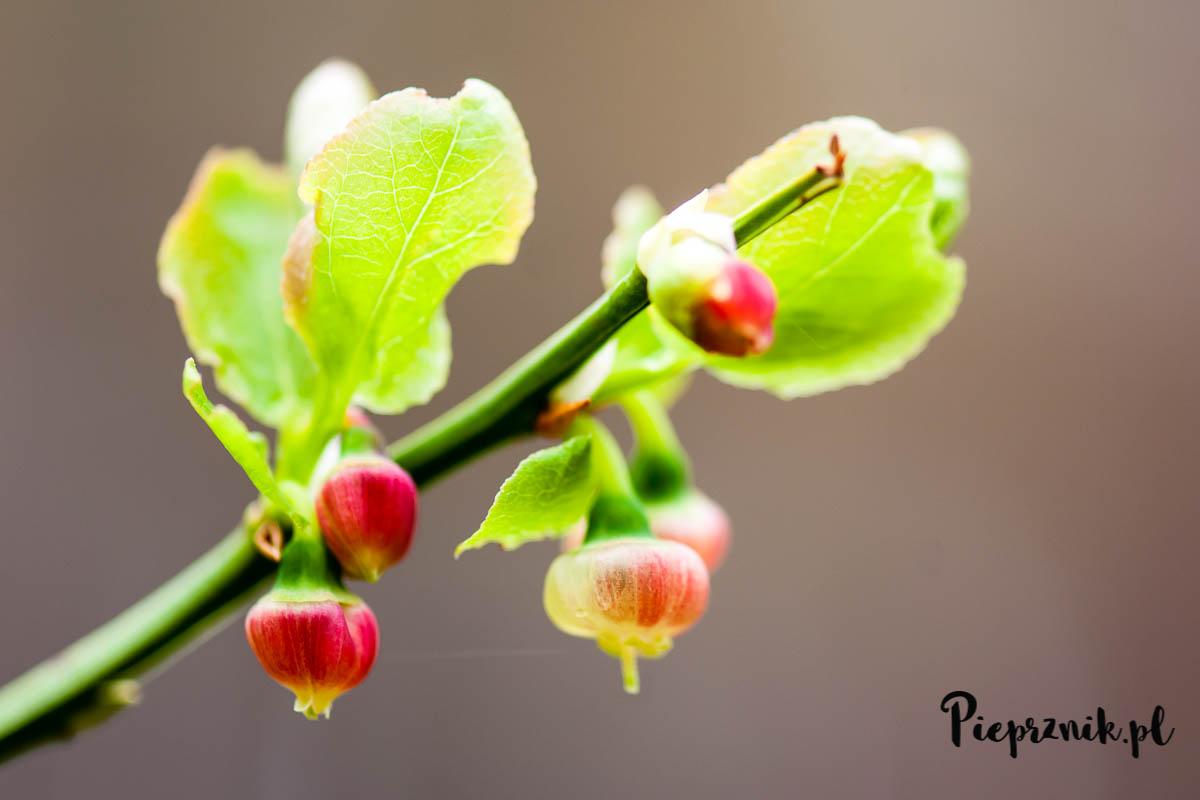 Kwiaty jagód
