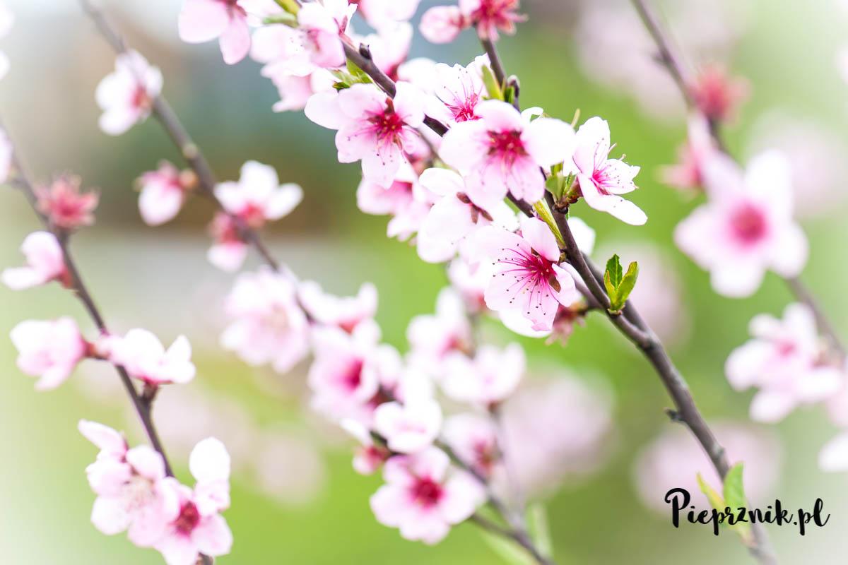 Kwitnące brzoskwinie