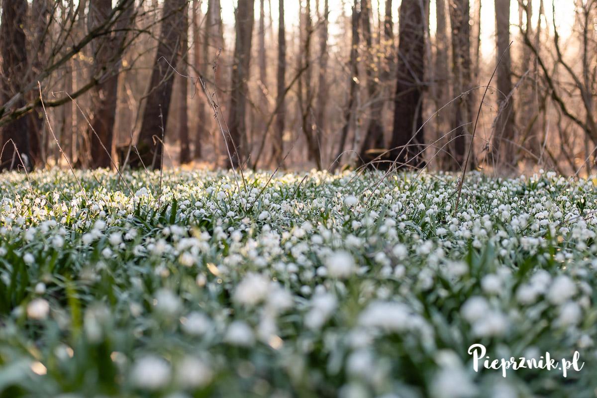 Śnieżyce wiosenne