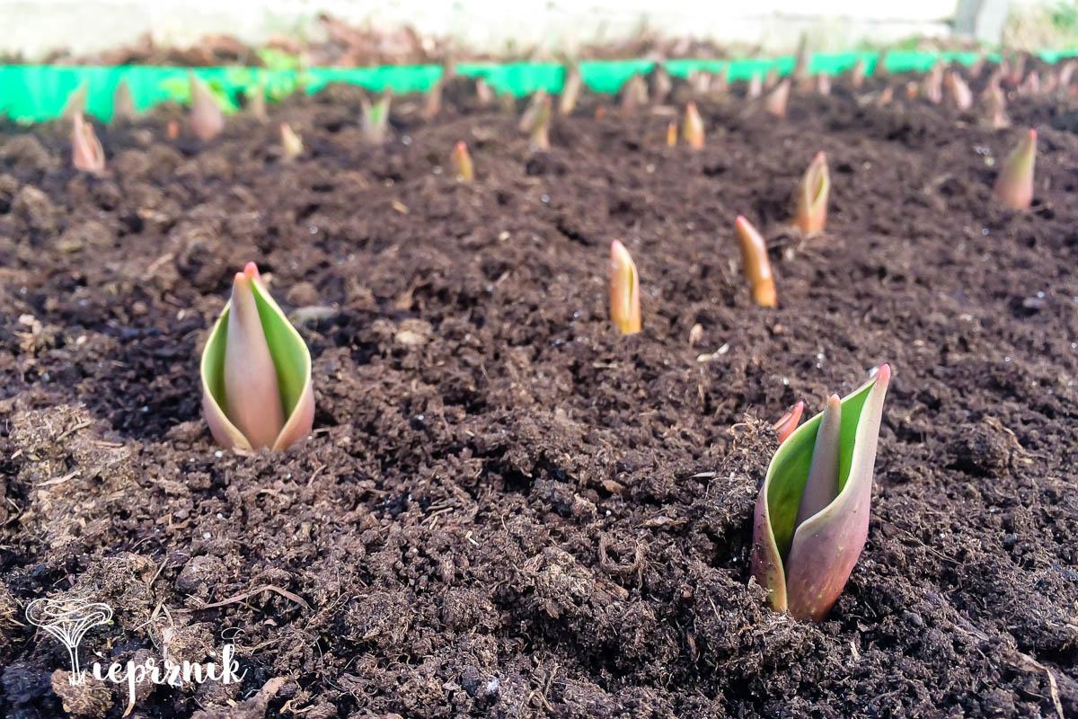 Wiosna i pierwsze tulipany