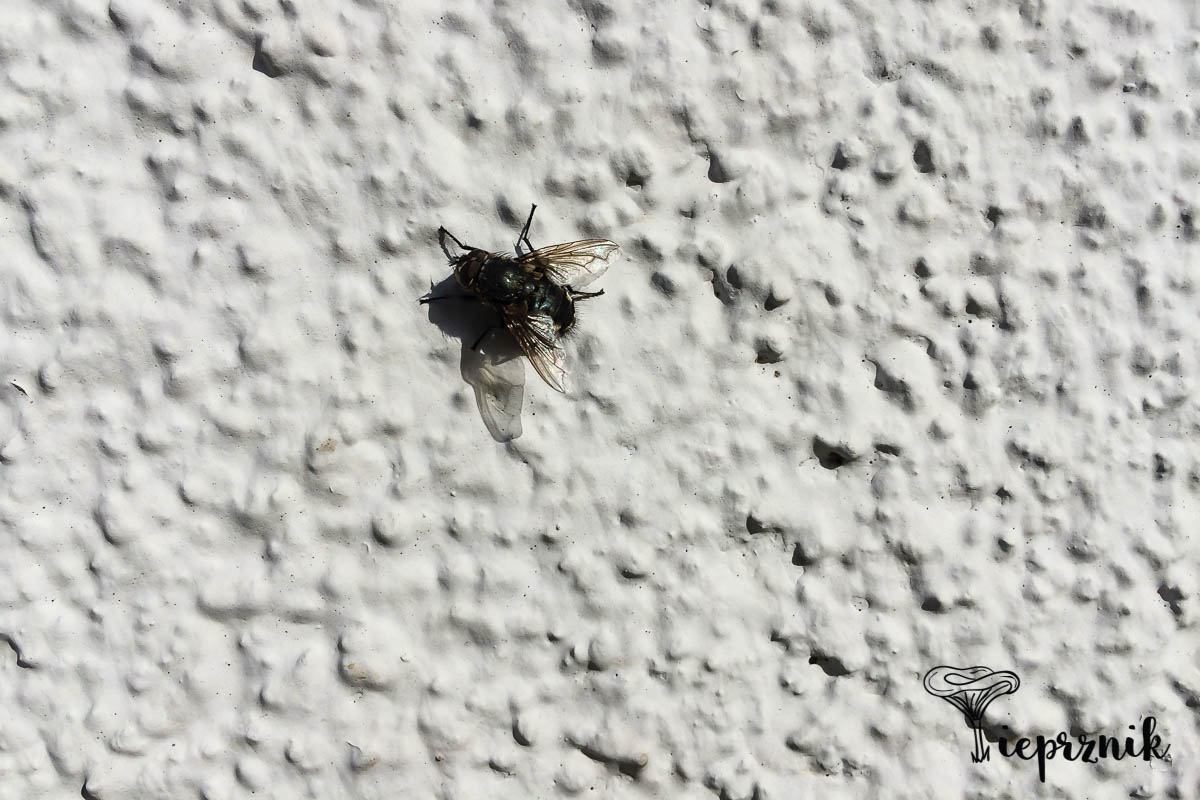 Pierwsza wiosenna mucha