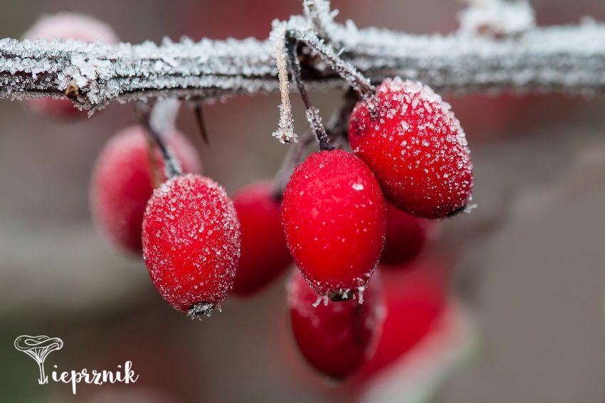 makrofotografia zimą
