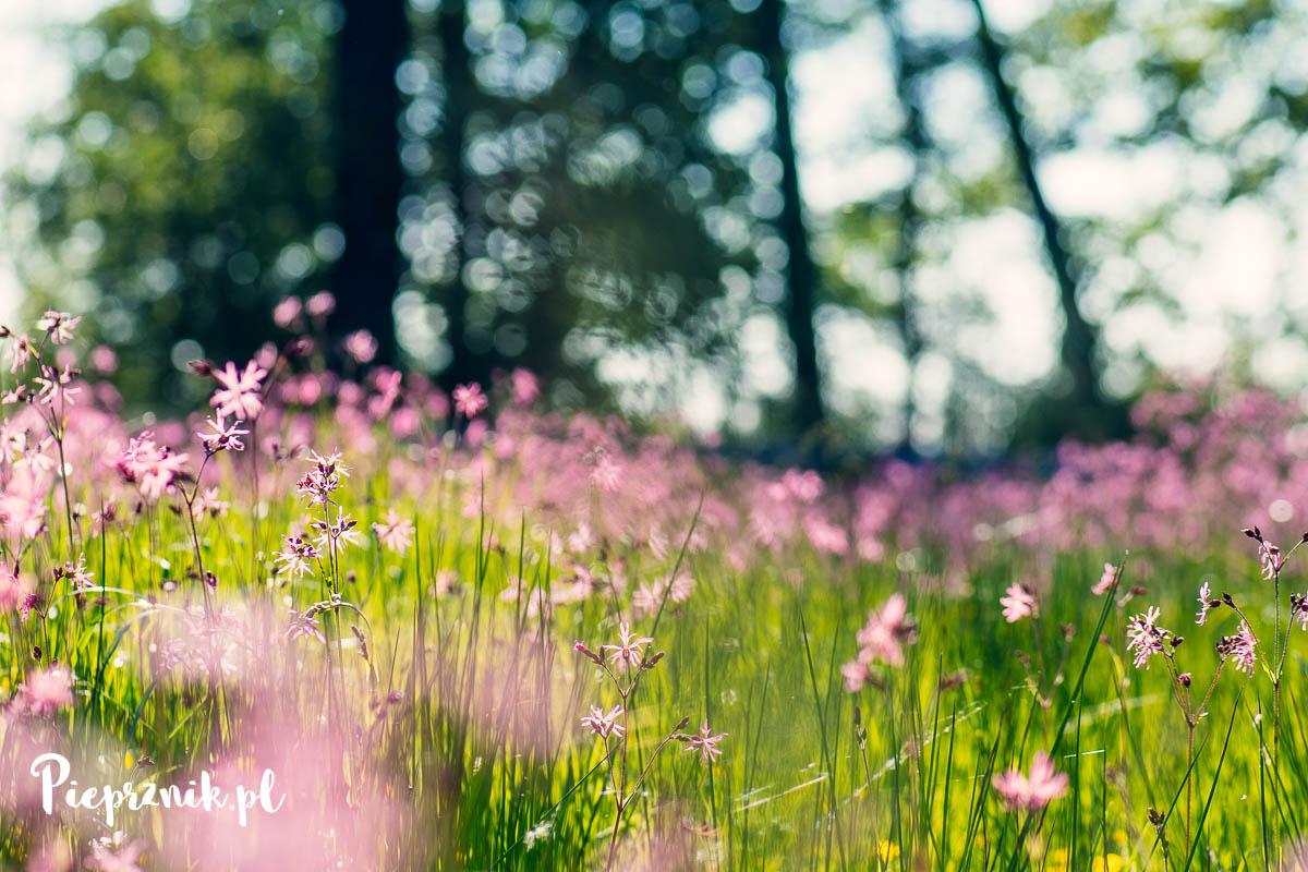 majowa łąka